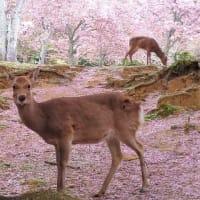 2021年の桜 ~奈良~
