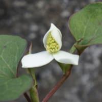 白い花 ドクダミの花