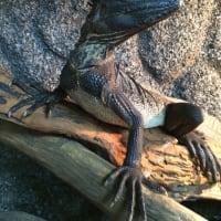 ホカケトカゲ3種