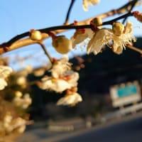 静岡県伊豆市・持越温泉バス停付近に梅の花が咲いていました。