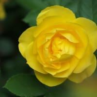 横浜イングリッシュガーデン バラが見頃になりました③