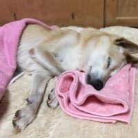 老犬で里子に行ったうずらちゃんのお見舞いに行ってきました