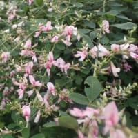 停電の長期化 「想定外」ではすまない/赤紫の萩の花2種、江戸絞りと仙台野萩