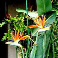 ご近所のお宅で「極楽鳥花」咲いてます
