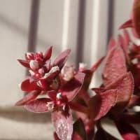 多肉植物「火祭り」?の紅葉