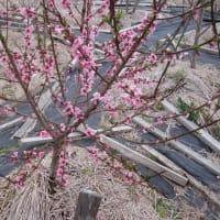 ポポーガーデン、桃の花満開です。