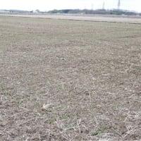 麦が発芽しました。