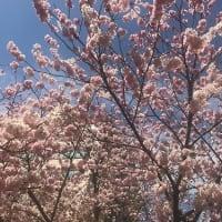 お花見とパンケーキ ~FLIPPER'S自由が丘店~