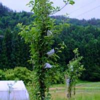【一般無料版】自然菜園スクール『自然果樹コース』講義:自然果樹講座②(病虫害対策) 実習:「スーパーストチュウ水葉面散布、摘果、袋がけ、イチジクの定植」