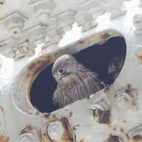 顔を出す「幼鳥チョウゲンボウ」