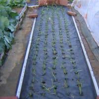 玉ねぎ赤玉と中生甲高の定植した