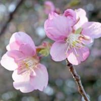 庭で咲く花「カワヅザクラ(河津桜?)」➀ !!