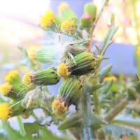 ネンジュソウ(野沢菊)    植物たちへの感謝をことばにする、できるだけうつくしいことばで   千葉県市川浦安アスファルト脇植物園