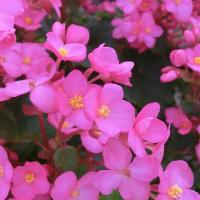 ベゴニア・ラブミーの花は