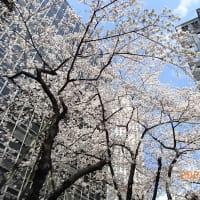 日本の桜、その3