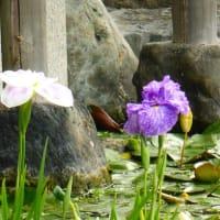 梅雨のあいまの白鳥庭園 ・・・ 名古屋市