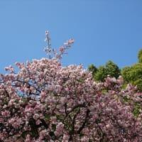 「カンザクラ」/上野公園