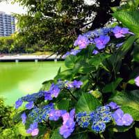 紫陽花と千鳥ヶ淵