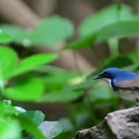 まだ若鳥のようだ、コルリのオス。