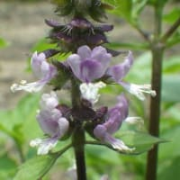 トゥルーシー(ハーブ)の花が咲き始める