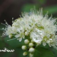 「蝦夷丸葉下野の花が咲きました」 MY GARDEN 2019.06.09撮影
