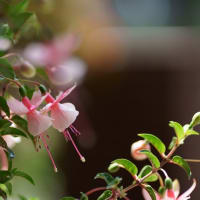 ●我が家の5月の花 シラン ユキノシタ