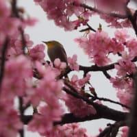 にしさんの花日記 河津桜