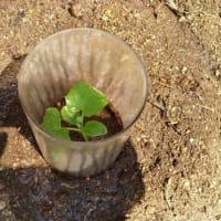 キュウリの植え付け(その2)