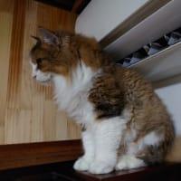 家のノル ダメな猫