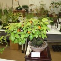 「おはようの花」 季節の山野草  ロウヤガキ(老爺柿)   10月