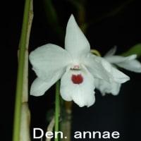 蘭:デンドロビウム・アンナエ(Den. annae)