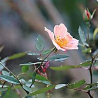 ぽつぽつ咲くバラ