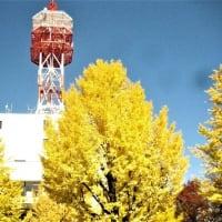 高崎市内の銀杏  R- 1-11-24