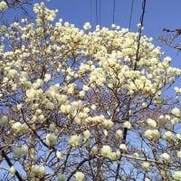白木蓮が満開です