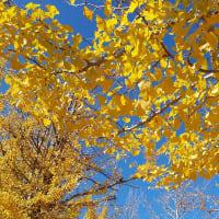 降り積もる黄葉