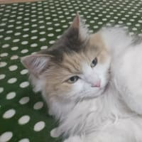 わが家の三毛猫ちみちみちゃんの可愛い写真です!!