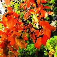 <ナツハゼ(夏櫨・夏黄櫨)> 葉が初夏から鮮やかに紅葉