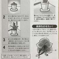 ニョキニョキ アマリリス(1)
