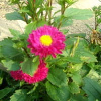 「おはようの花」 アスター-06-22