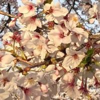 桜ドライブ