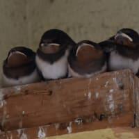 ツバメが6羽孵っていたと思っていたら、7羽になっていた。