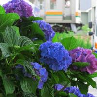 EF66 126 2079レ と紫陽花 (2019年6月 天竜川-浜松  オマケはタピオカミルクティーのお店)