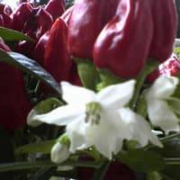とうがらし 開花!