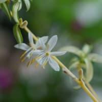 ●我が家の8月の花(2) オリヅルランの花と子株