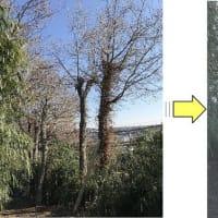 お寺敷地内大きくなりすぎた雑木の枝おろし作業