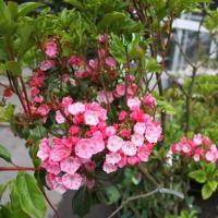 「おはようの花」 カルミア 6月