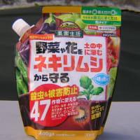 実豌豆(グリンピース)定植した