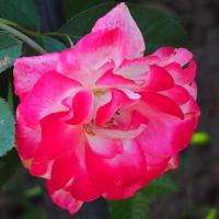 にしさんの花日記 新宿御苑では 十月桜が見頃を迎えています
