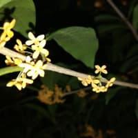 シャンソン歌手リリ・レイLili Ley  金木犀の香り