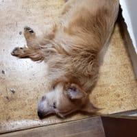 老犬は寝てばかり